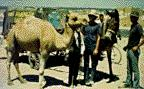 Brothers with camel in Iran